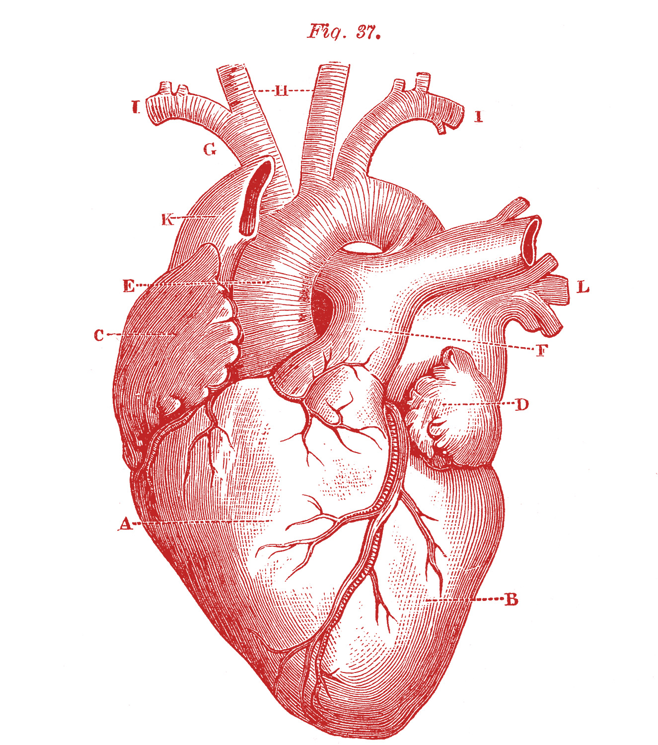 Royalty Free Images Anatomy Heart Graphicsfairy Red1 Wenatchee